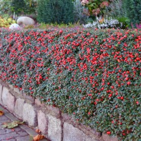 Красные ягоды на кустах с зелеными листьями