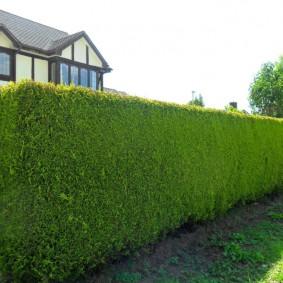 Зеленая стенка из теплолюбивых растений
