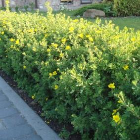 Кустарниковая лапчатка с желтыми цветками
