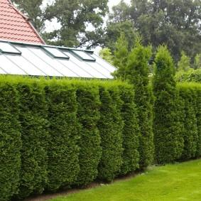 Стриженные туи в качестве зонирующего элемента сада