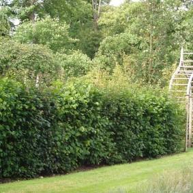 Лиственные растения в роли живой изгороди
