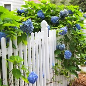 Садовая гортензия за забором в палисаднике