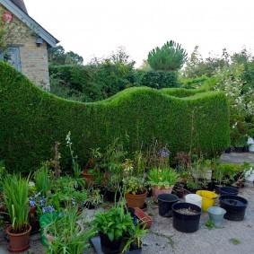 Волнистая изгородь из вечнозеленых кустарников