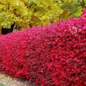Красные листья на ветках декоративного кустарника