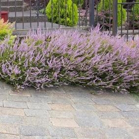 Сиреневые цветки на низких кустиках