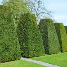 Декоративная изгородь из вечнозеленых растений