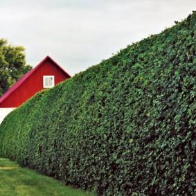 Живой забор на загородном участке