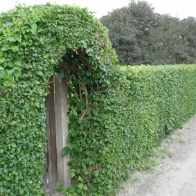 Зеленая арка из растений под стрижку