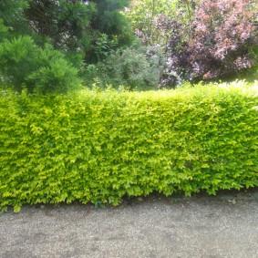 Зеленая стенка из мелколиственного граба