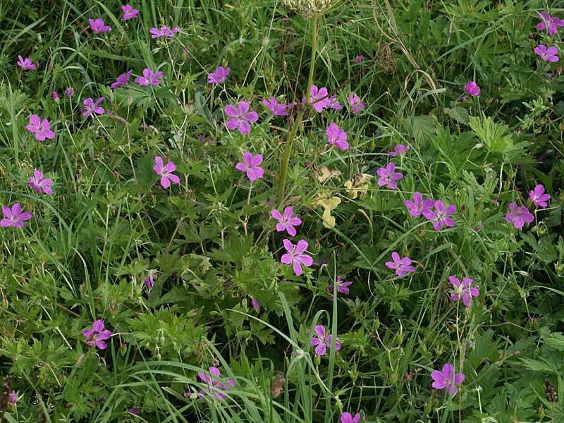 Герань болотная с длинными цветоносами