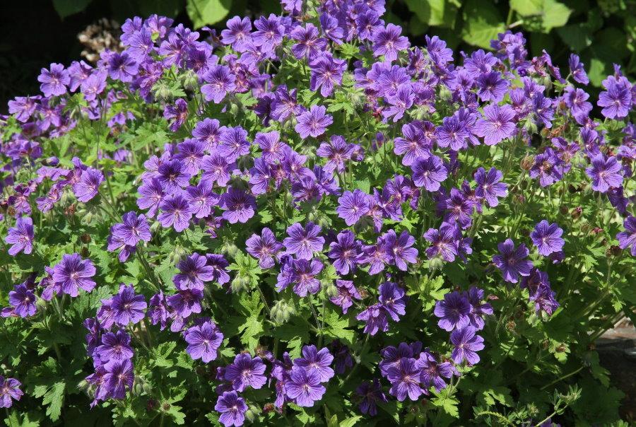 Взрослый куст герани грузинской на цветочной клумбе