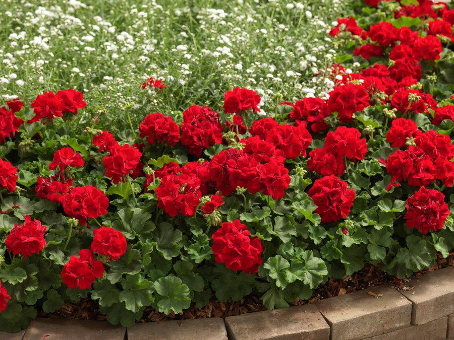 Кроваво-красные бутоны на садовой герани