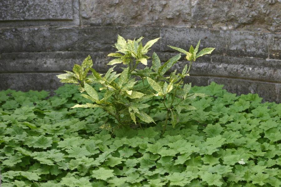 Крупнокорневищная герань в качестве зеленого коврика на даче