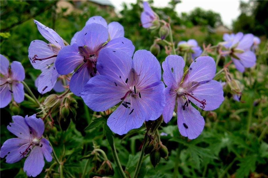 Сине-фиолетовые цветки с темными тычинками на герани луговой