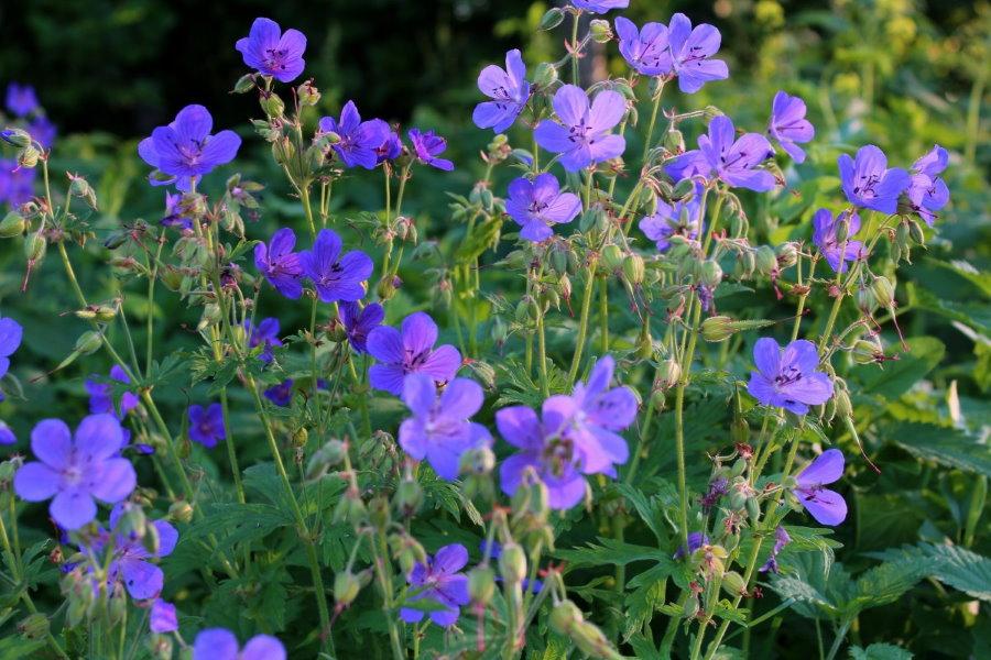 Лилово-синие цветки на луговой герани