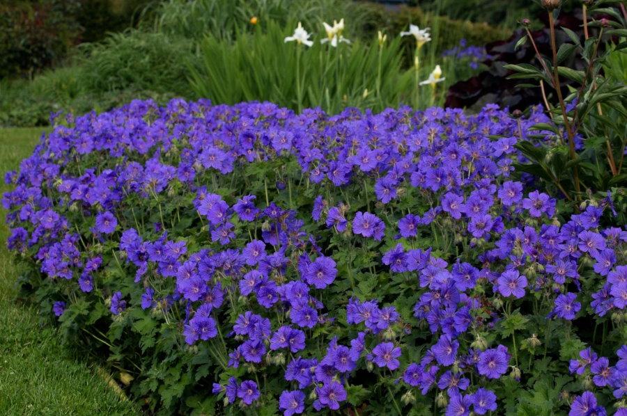 Пышный куст герани великолепной в ландшафте сада