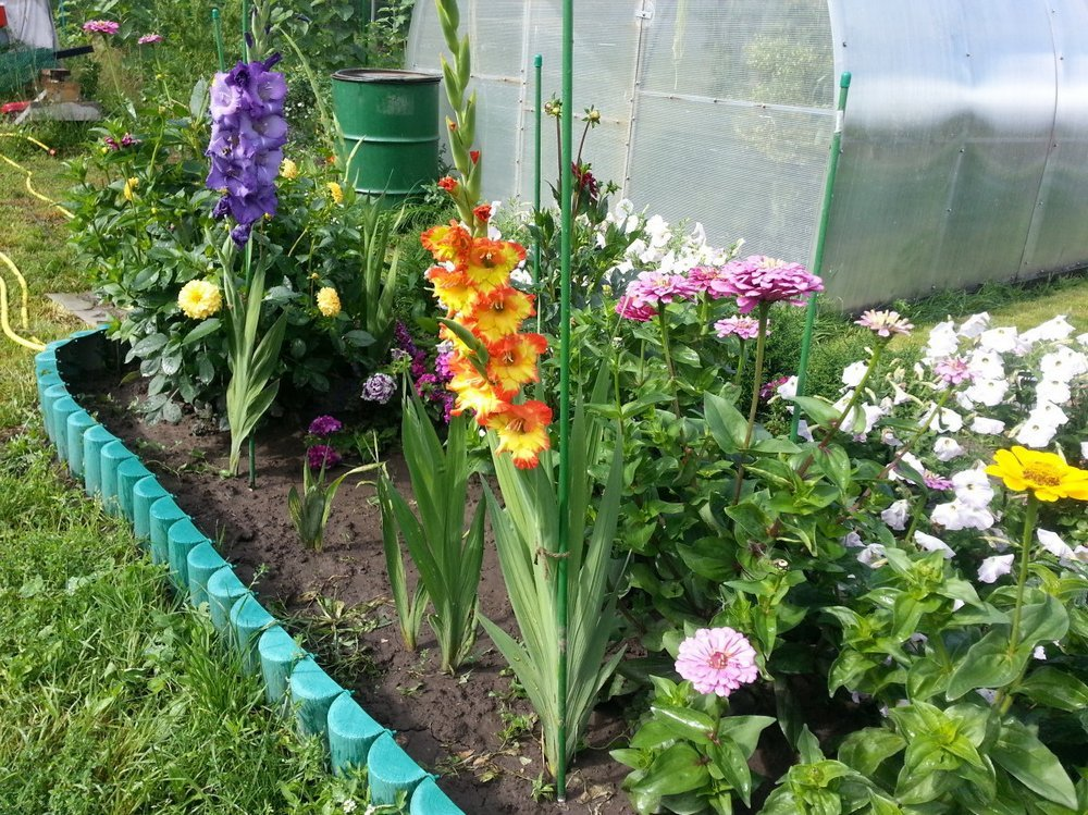 гладиолусы в саду фото идеи