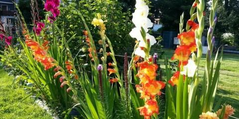 гладиолусы в саду идеи фото