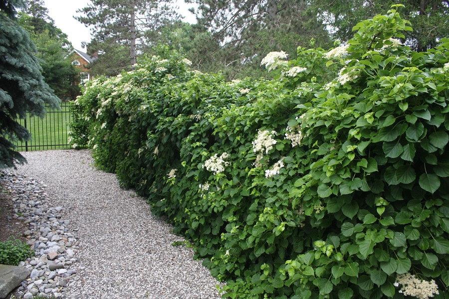 Гортензия черешковая в качестве живой изгороди на даче