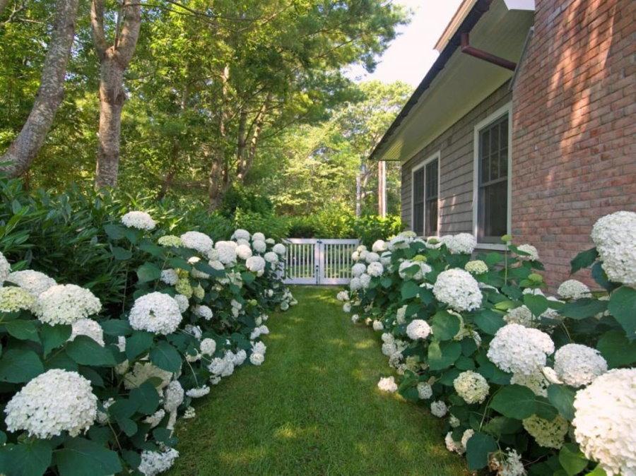 Белые соцветия на кустиках садовой гортензии