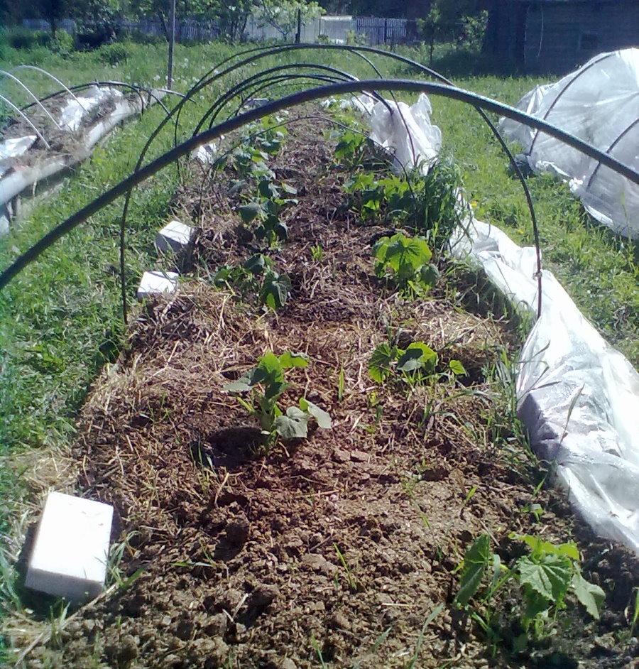 Кустики огурцов на умной грядке с компостом