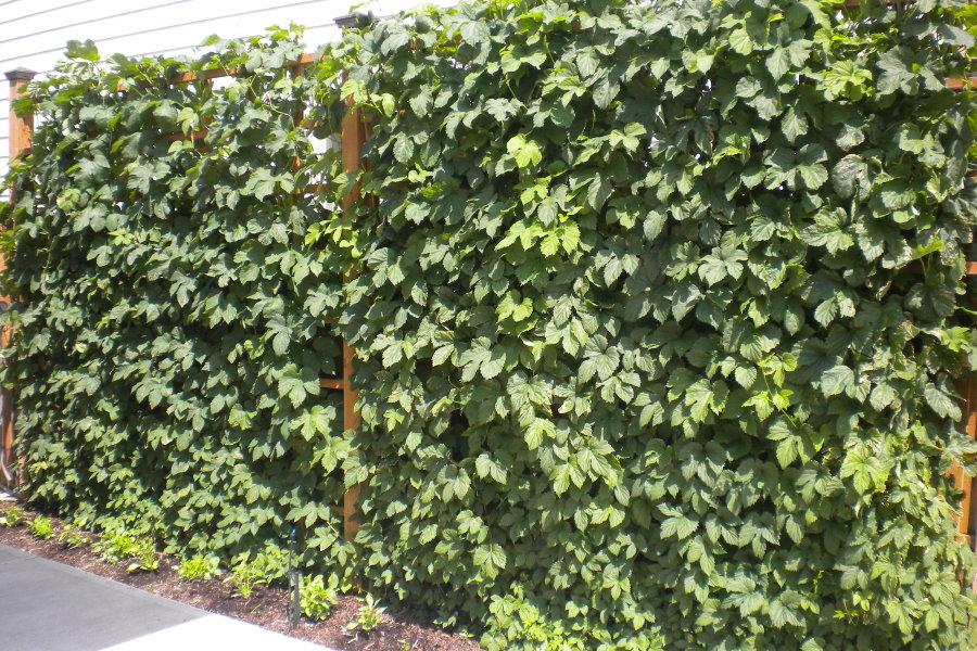 Зеленая стенка из обыкновенного хмеля