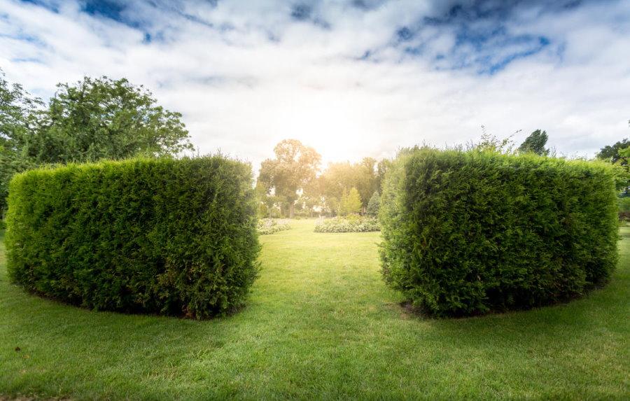 Фото красивой изгороди из туи западной