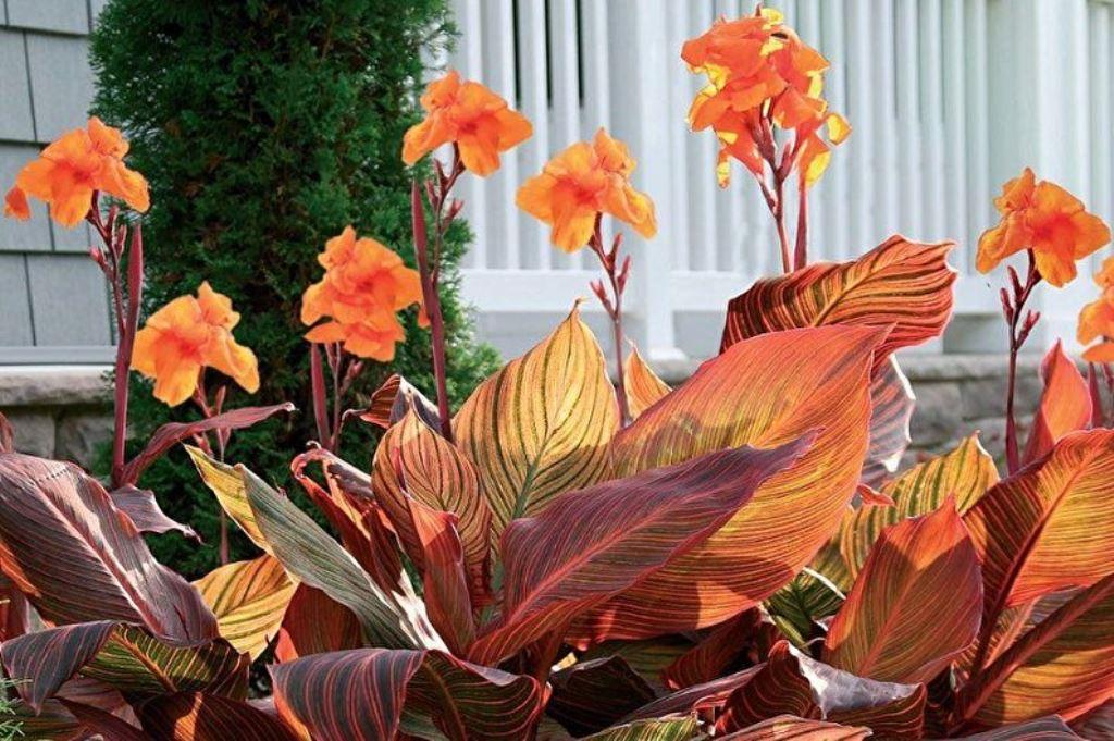 канна цветок для сада