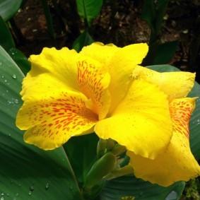 канна цветок как выглядит
