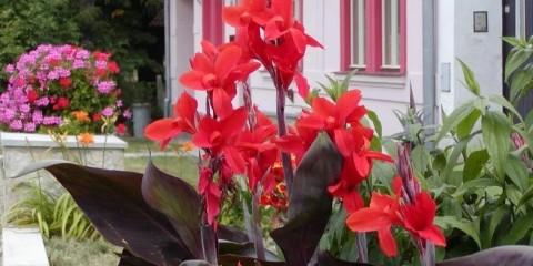канна цветок в огороде