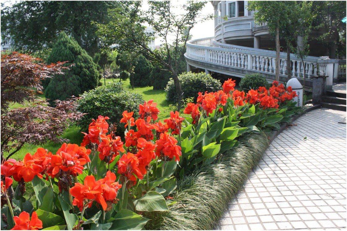 канны в саду фото