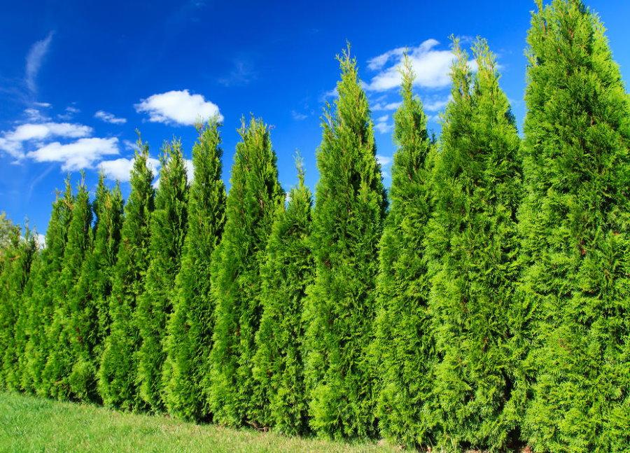 Живая изгородь из колоновидных кипарисов