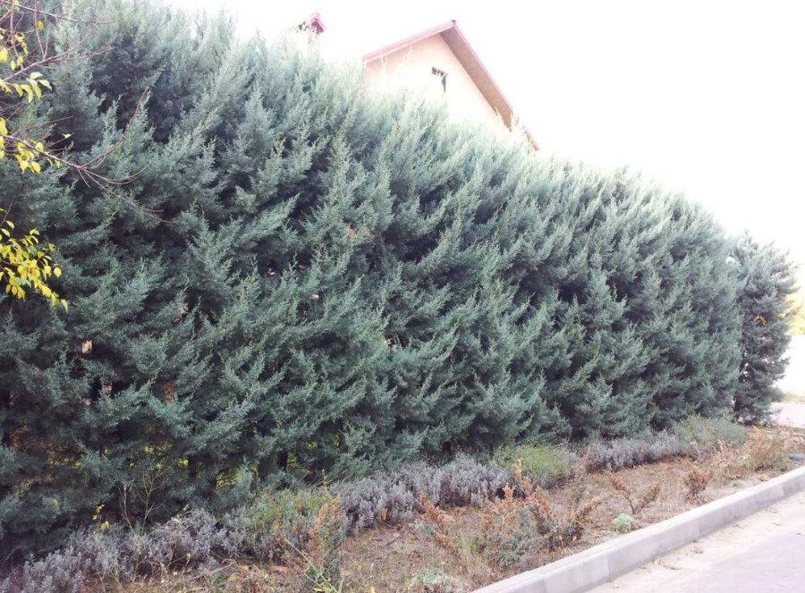 Вечнозеленая живая изгородь из быстрорастущего кипариса