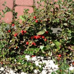 кизильник блестящий для сада фото