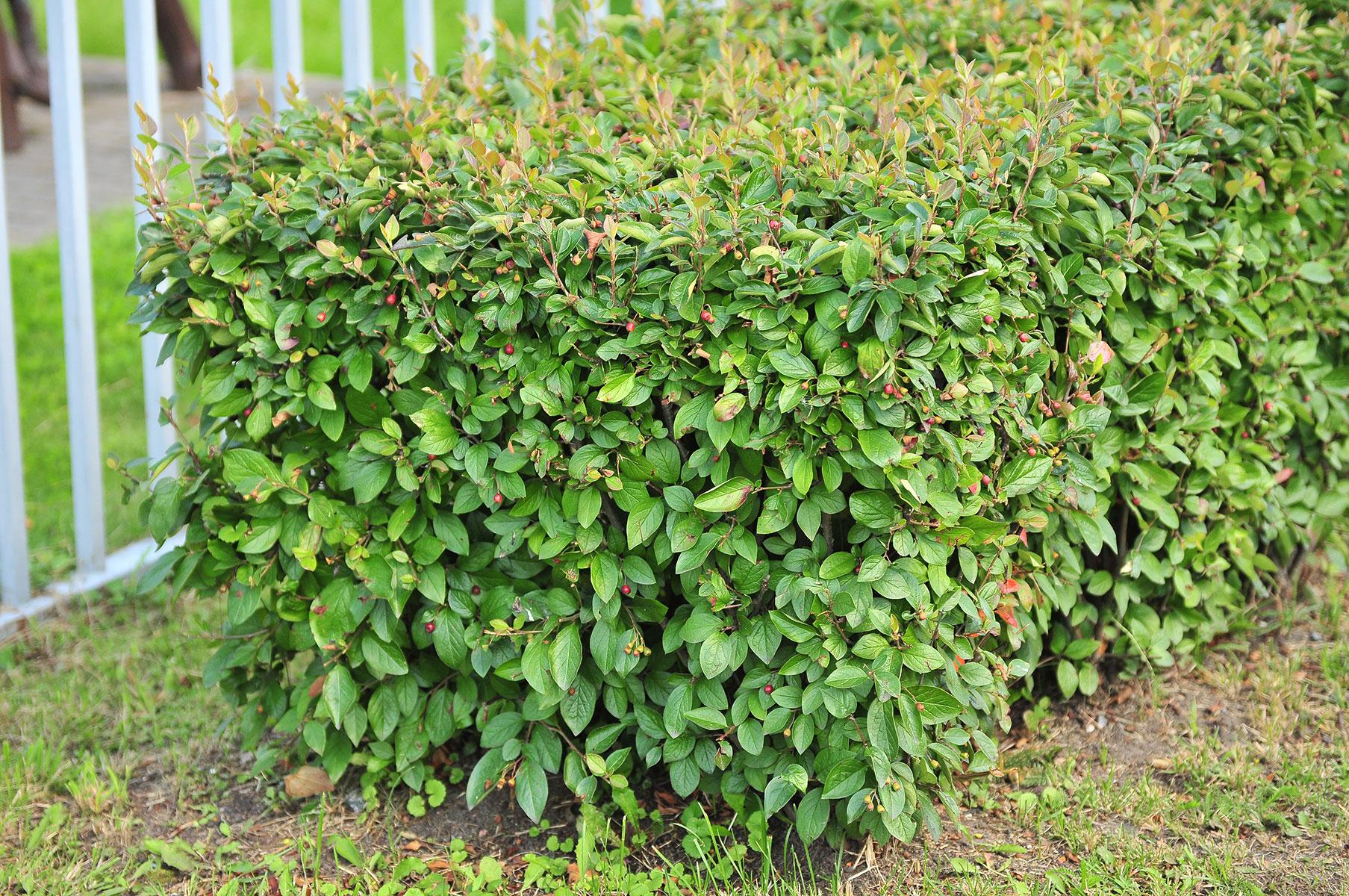кизильник блестящий в саду фото