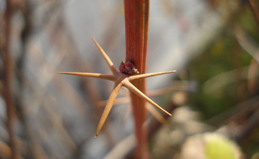 Острые шипы на ветке садового барбариса
