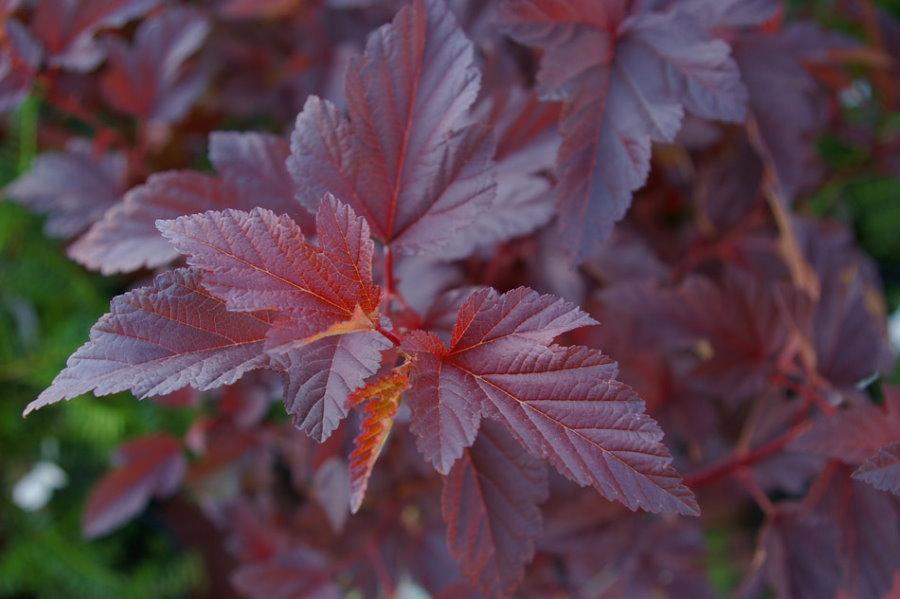 Трехлопастные листья багорово-красной окраски на стеблях пузыреплодника