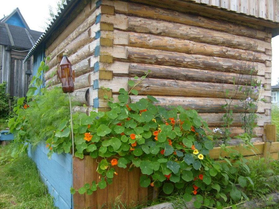 Идея украшения настурцией деревянного сарая на даче