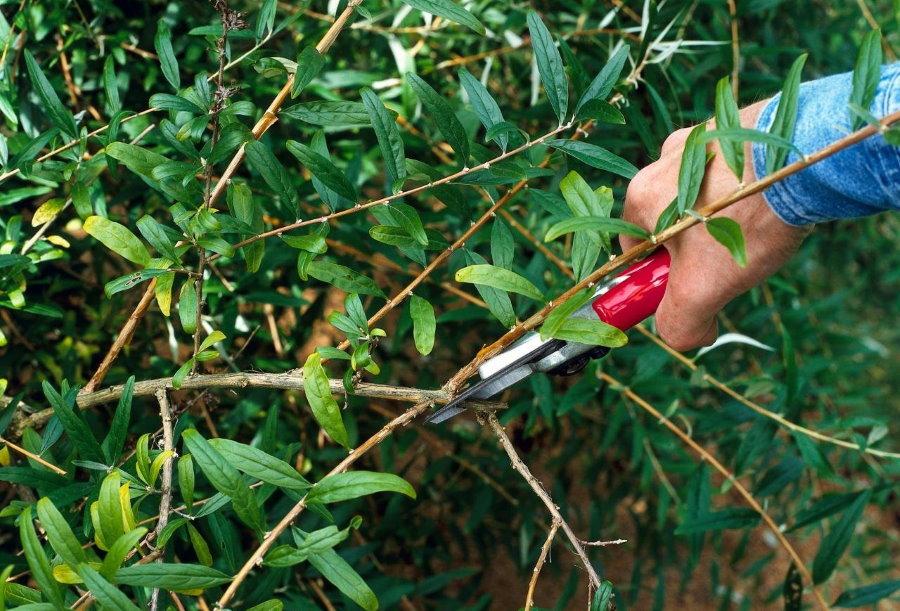 Летняя обрезка жасмина после цветения