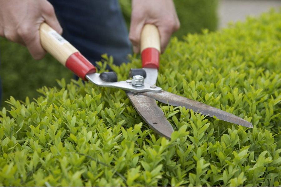 Обрезка садовыми ножницами живой изгороди