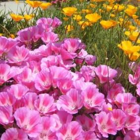 однолетние цветы в саду дизайн фото