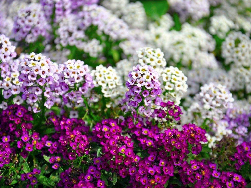 однолетние цветы в саду фото