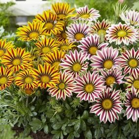 однолетние цветы в саду идеи фото