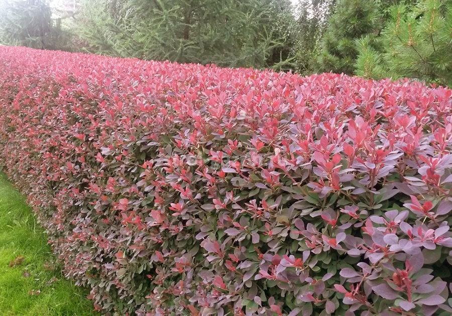 Аккуратно постриженная живая изгородь из гибридного барбариса