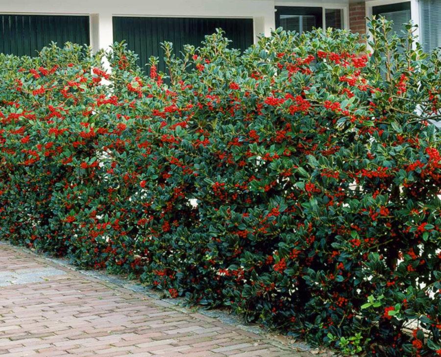 Красные ягоды на живой стенке из падуба