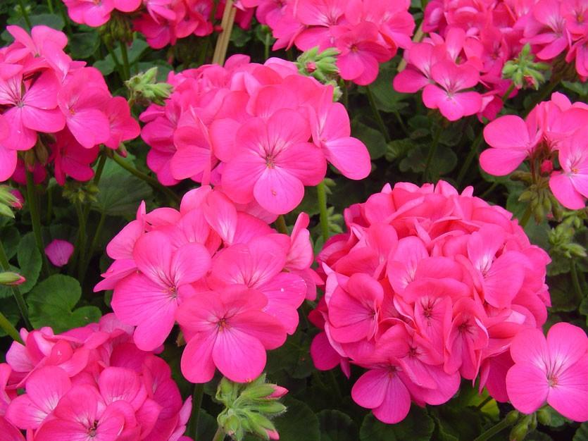 Розовые цветки на пеларгонии зональной