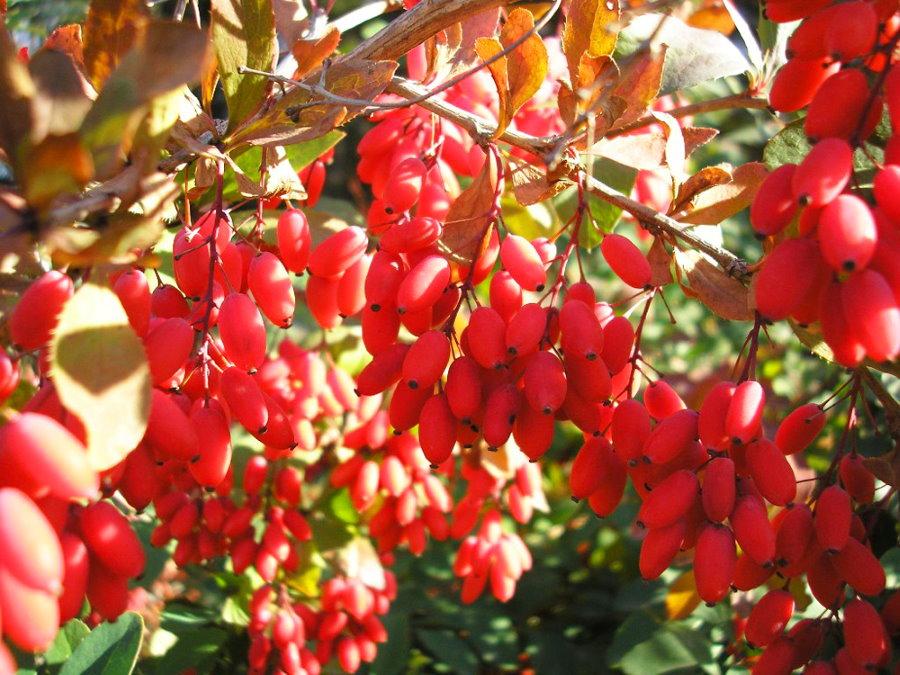 Ярко-красные плоды на колючих ветках барбариса
