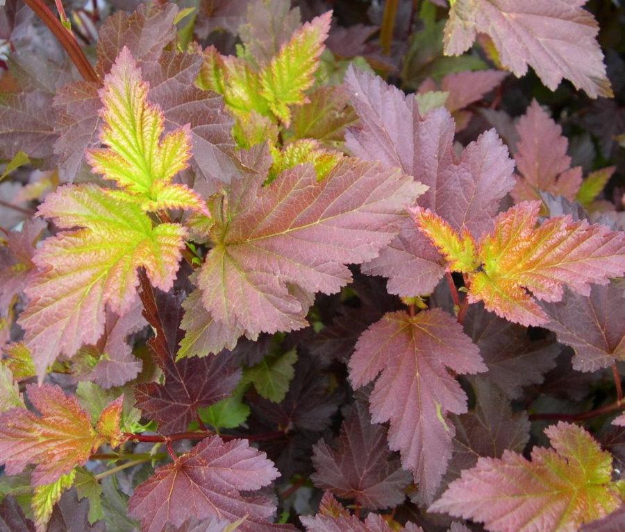 Пестрая окраска листьев пузыреплодлника сорта Center Glow