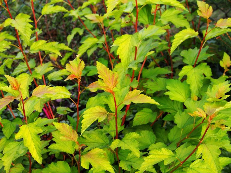 Зелено-желтые листья на красных ветках пузыреплодника сорта Luteus