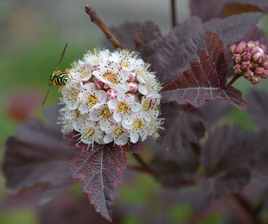 Оса на цветках пузыреплодника гибридного сорта мальвовый